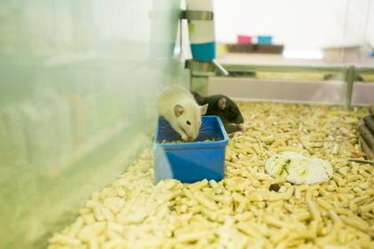 Крысы в магазине Ле'муррр
